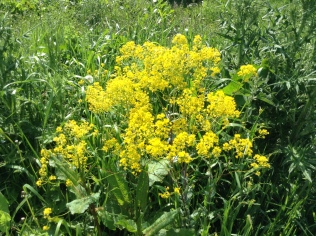 Woad in its second year